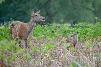 Baby deer in Bushy Park credit Amanda Cook
